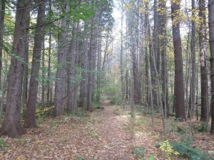 View of a forested hiking trail in Mohawk Trail Conservation Area