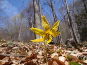 A spring flower blooms at Walnut Hill Woods